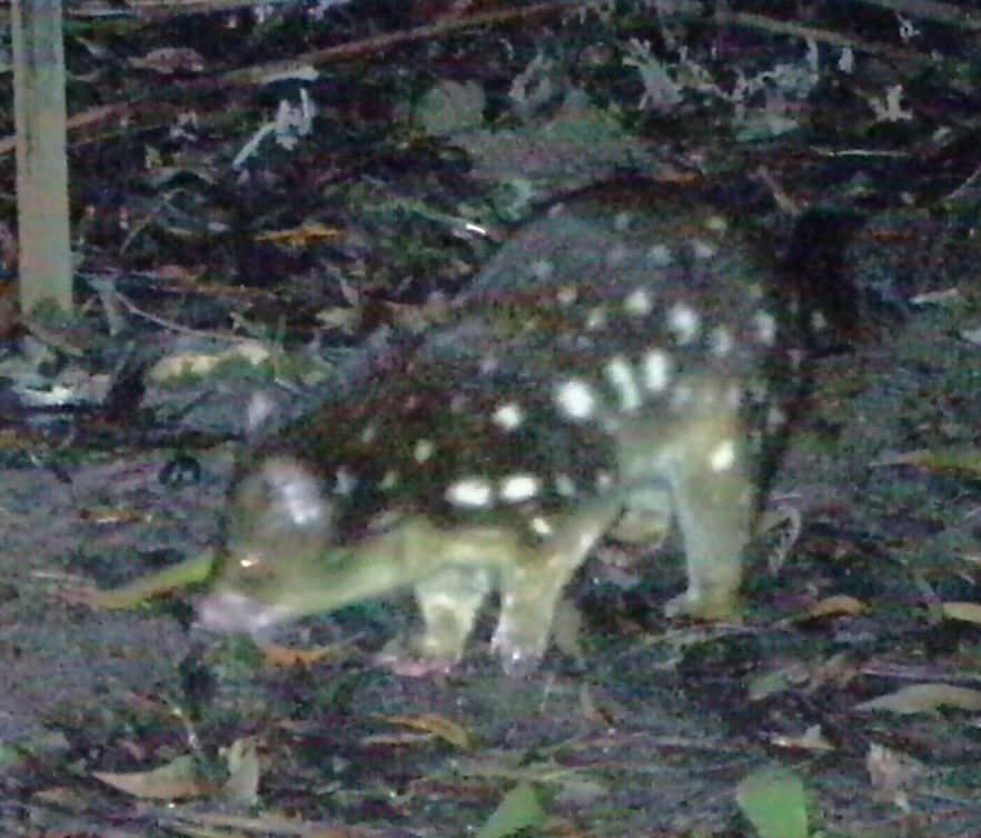 quoll1a